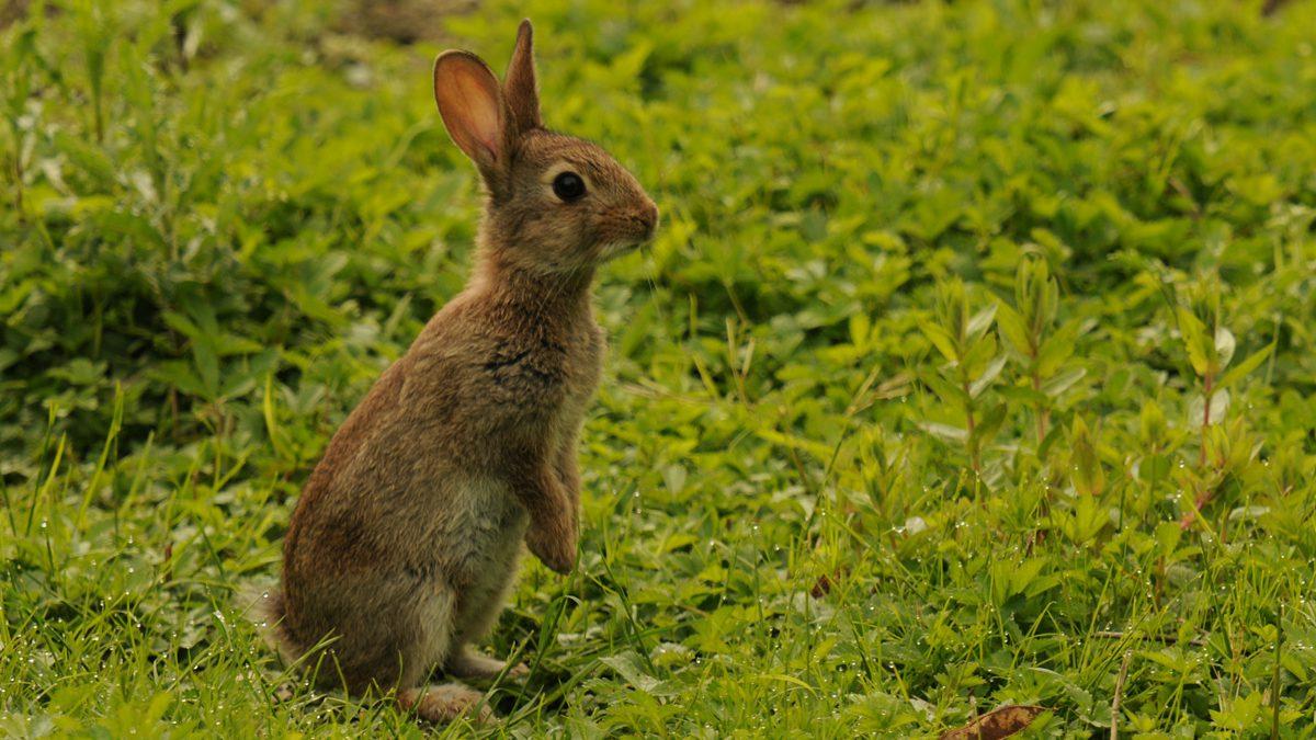 Le lapin de garenne fdc 03 - Cuisiner le lapin de garenne ...